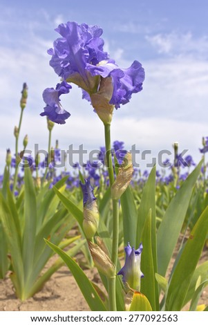 Field of iris flowers in Keizer Oregon. - stock photo