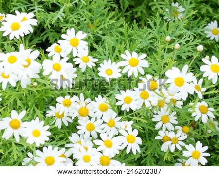 field of little white flowers - stock photo