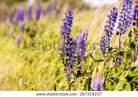Field of lupine on a sunny day. background - stock photo