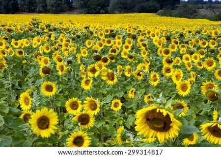 Field of many sunflowers / Sunflowers - stock photo