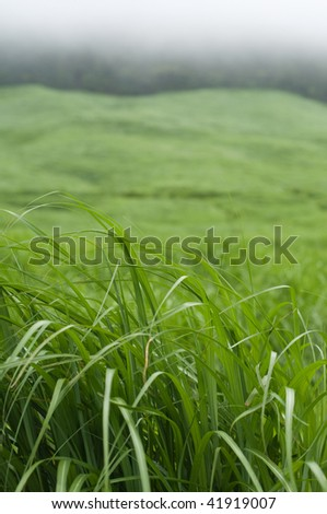 Field of pampas grass in Hakone, Japan. - stock photo
