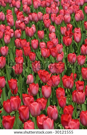 Field of pink tulips. - stock photo