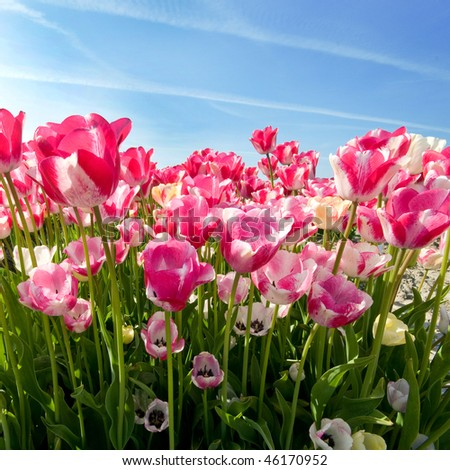 Field of pink tulips isolated on white background - stock photo