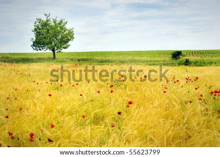 Field of poppies and tree - stock photo