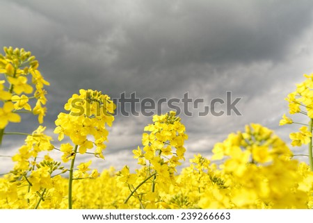 Field of rapeseed against sky with clouds - stock photo