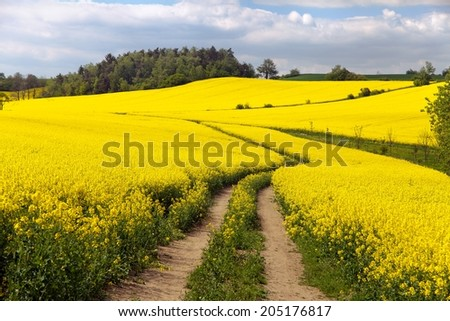 Field of rapeseed (brassica napus) - plant for green energy and green industry - stock photo