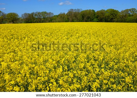 Field of rapeseed in spring with blue sky - stock photo