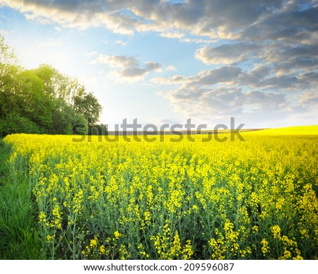 Field of rapeseed with beautiful clouds - plant for green energy - stock photo