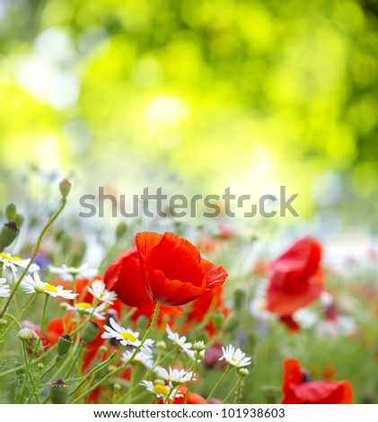 Field of Red Poppies - stock photo