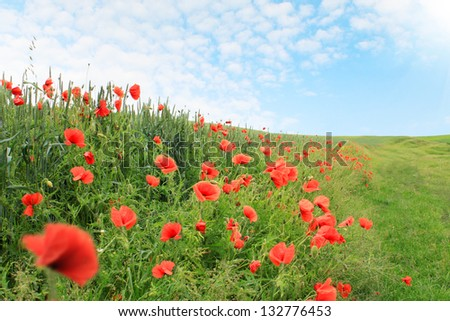 field of red poppies blooming, summer landscape - stock photo
