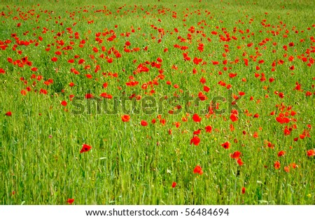Field of red poppies with green wheat - stock photo