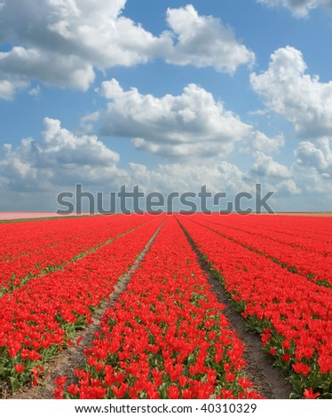 Field of red tulips, blue sky with clouds overhead. - stock photo