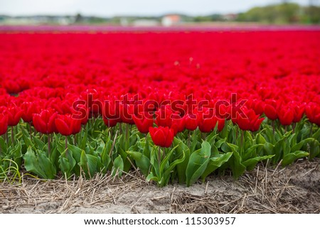 Field of red tulips ready for export in Holland Netherlands - stock photo
