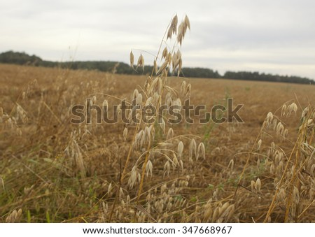 Field of ripe oats ears, before harvest..Overcast - stock photo