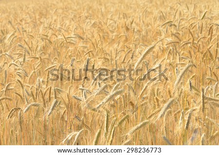 Field of ripe wheat. Agriculture in Belarus. - stock photo