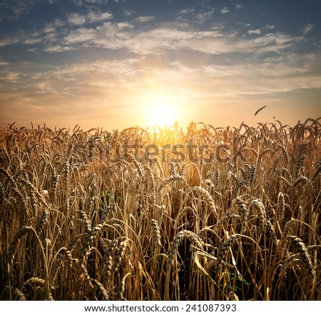Field of ripe wheat at the sunset - stock photo