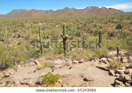 field of saguaro cacti and Rincon Mountains - stock photo