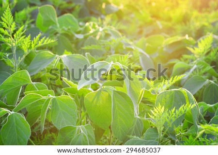 Field of soy and weeds in the light of setting sun - stock photo