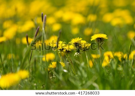 Field of spring flowers dandelions, Dandelion meadow. Yellow dandelion with shallow focus - stock photo