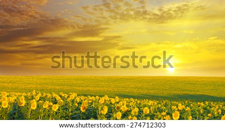 field of sunflowers and sunrise - stock photo