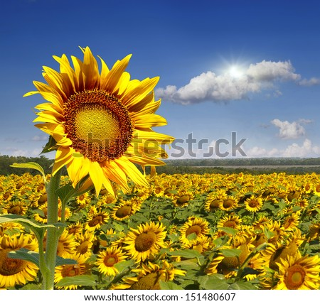 Field of sunflowers. Close-up of a sunflower - stock photo