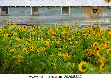 Field of sunflowers in front of an old barn, Stowe, Vt, USA - stock photo