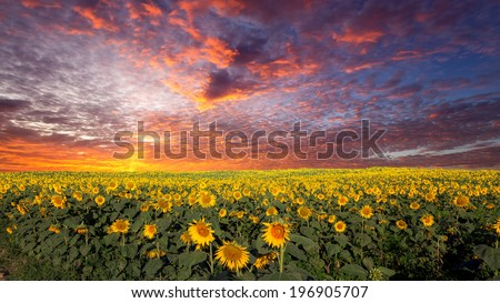 field of  sunflowers on a background sunset - stock photo