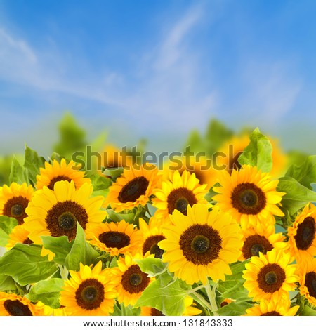 field of sunflowers over blue sky  in sunny day - stock photo