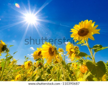 Field of sunflowers under bright sun - stock photo
