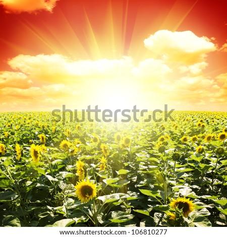 Field of sunflowers under sunset sky - stock photo
