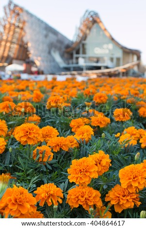 Field of Tagetes Patula Flowers, Orange Marigolds at Universal Exposition's Pavilion in Milan, Italy 2015 - stock photo