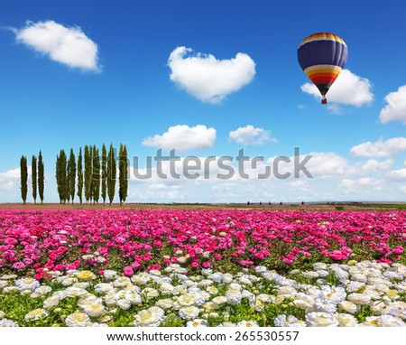 Field of the blossoming buttercups - ranunculus of white and lilac color.  Huge balloon flies over a field in windy spring day - stock photo
