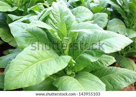 Field of tobacco plants - stock photo