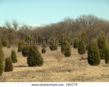 field of trees in winter 2 - stock photo
