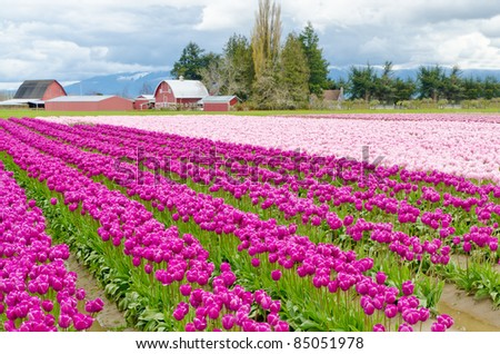 Field of tulips at Skagit, Washington State, America. - stock photo