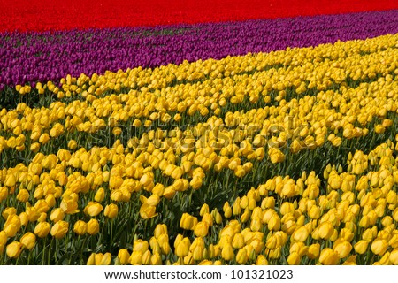Field of tulips different colors in Holland - stock photo