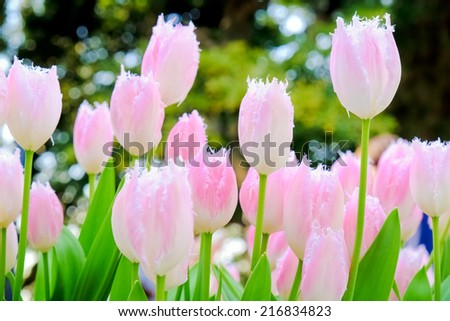 field of tulips in morning light - stock photo