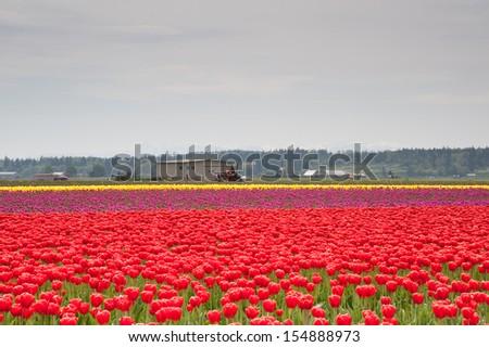 Field of tulips in Skagit Valley - stock photo