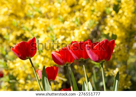Field of tulips in the sunlight. Beautiful tulips on yellow background. Selective Focus. - stock photo