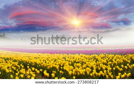 Field of tulips of different breeds on the backdrop of scenic wilderness after rain misty morning among  spring greens in the mountains in the warm golden rays of sunrise sun-natural beauty of  Earth - stock photo