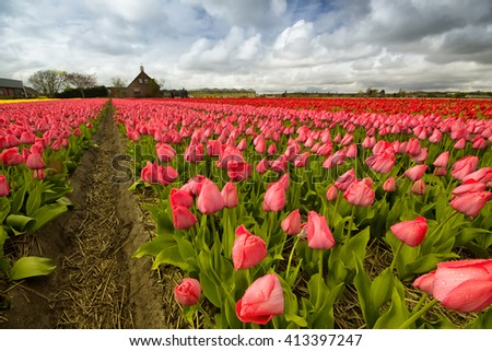 Field of tulips outside Amsterdam, the Netherlands - stock photo