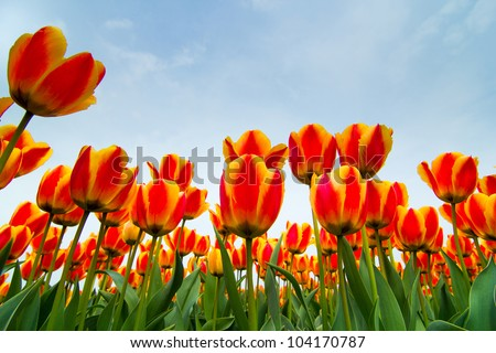 Field of tulips ready for export in Holland Netherlands - stock photo