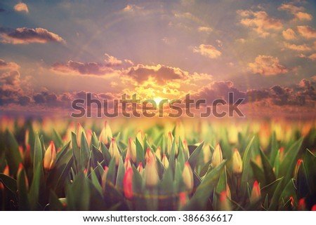 field of tulips sunset clouds landscape - stock photo