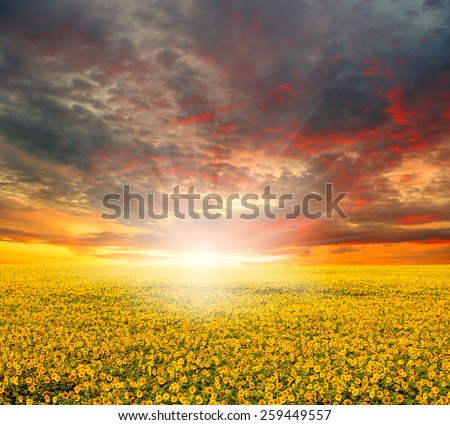 field of unfocused sunflowers and sun in the blue sky.  - stock photo