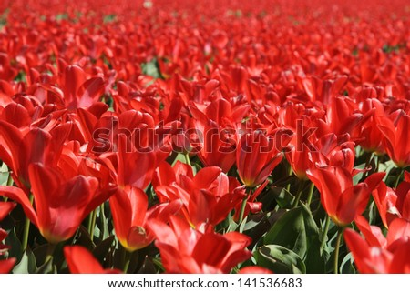 Field of very bright red tulips at the Keukenhof in The Netherlands - stock photo