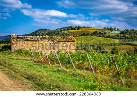 Field of vines in the countryside of Tuscany - stock photo