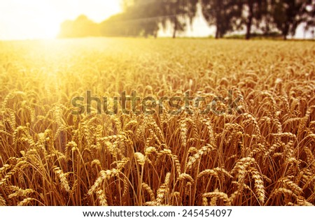 Field of wheat and sun - stock photo