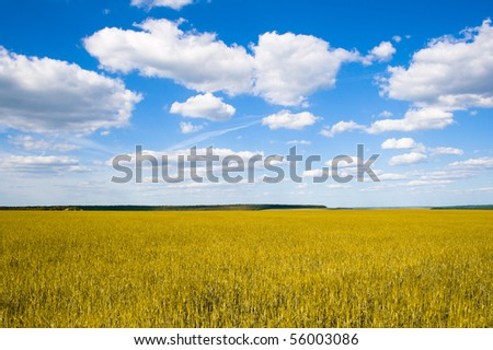 Field of wheat on a background - stock photo