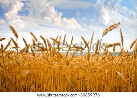 Field of wheat under the blue sky, with bright sun on horizon - stock photo