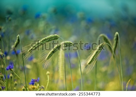 Field of Wheat with Corn Flowers in Summer - stock photo